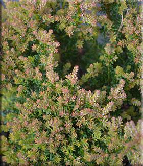 Image Podocarpus alpinus 'Red Tip'