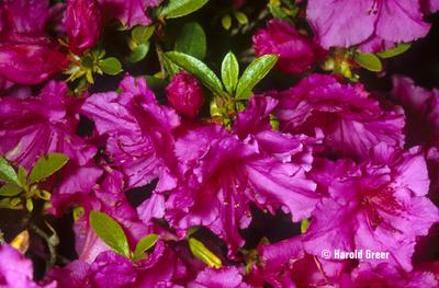 Image Azalea 'Purple Splendor'