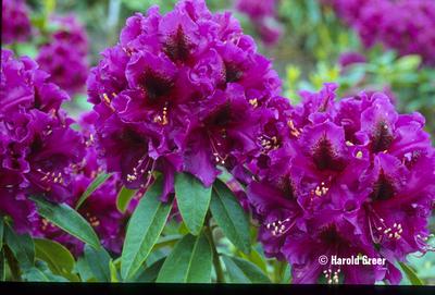 Image Rhododendron 'Purple Splendour'