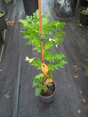 Image Quercus cirrus 'Aureo Marmorata'