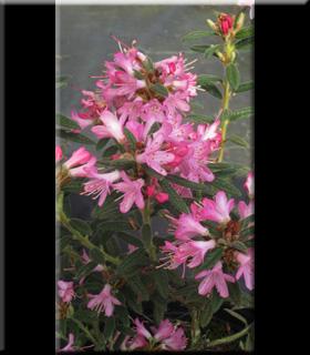 Rhododendron spiciferum