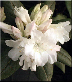 Image Rhododendron 'Dora Amateis'