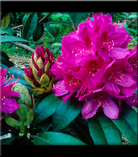Image Rhododendron 'Anah Kruschke'