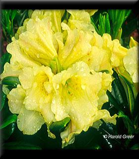 Rhododendron 'Banana Flip'