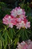 Rhododendron 'Barmstedt'