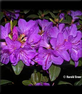 Image Rhododendron 'Barto Alpine'