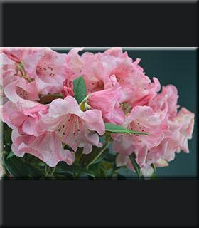 Image Rhododendron 'Fabia' x bureavii