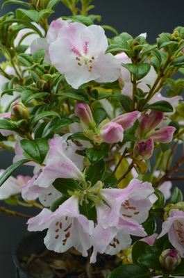 Image Rhododendron 'Cilpinense'