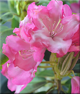 Image Rhododendron 'Eruption'