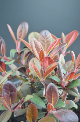 Image Rhododendron 'Everred'