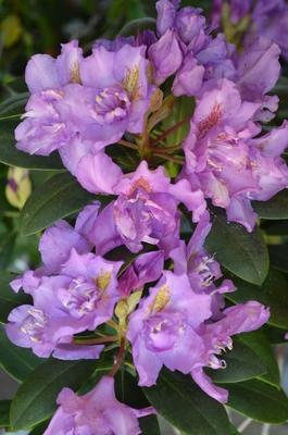 Rhododendron 'Fastuosum Flore Pleno'