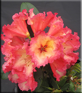 Image Rhododendron 'Fire Rim'