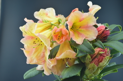 Rhododendron 'Fred Hamilton'