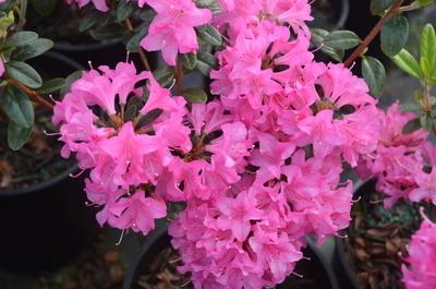 Rhododendron 'Hardjizer Beauty'