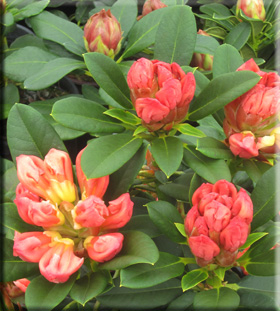 Rhododendron 'Honeybutter'