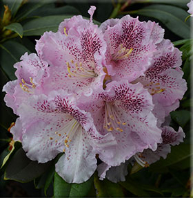 Rhododendron 'Ink Spot'