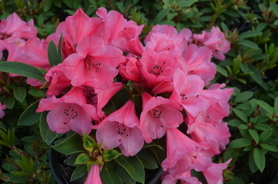 Rhododendron 'Kimbeth'