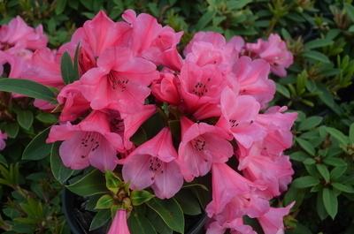 Rhododendron 'Kimbeth'