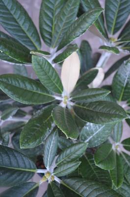 Rhododendron 'Laramie'