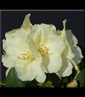 Image Rhododendron 'Lemon Dream'