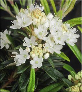 Rhododendron diversipilosum 'Milky Way' (formally tomentosum)