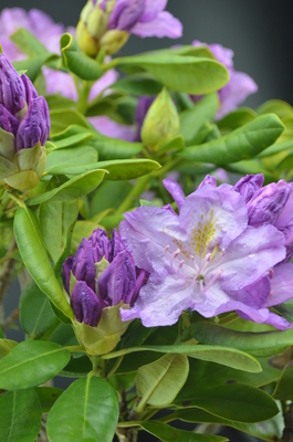 Rhododendron 'Minnetonka'