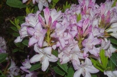 Rhododendron 'Odoratum'