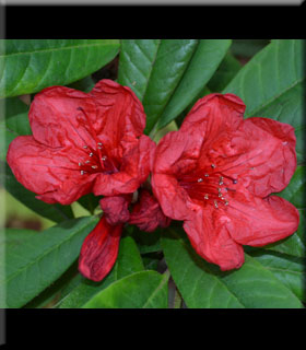 Rhododendron 'Ostbo Red'