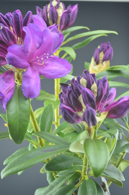 Rhododendron 'Purple Passion' (PP 9981)
