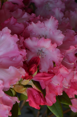 Image Rhododendron 'Solidarity'