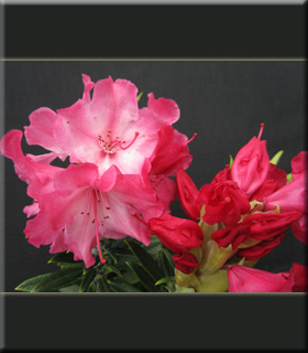 Image Rhododendron 'Strawberry Chiffon'