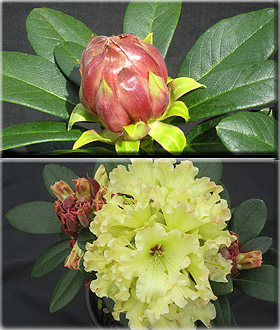 Rhododendron 'Windsong'