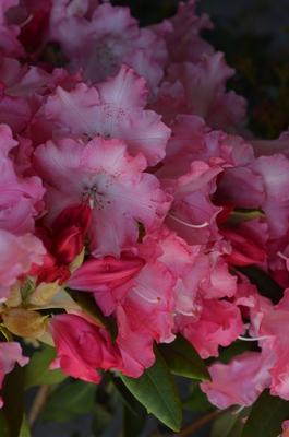 Rhododendron 'Wissahickon'