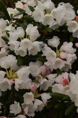 Rhododendron degronianum ssp. yakushimanum 'Koichiro Wada'