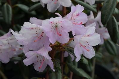 Rhododendron rubiginosum