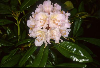 Rhododendron 'Rosamundi'