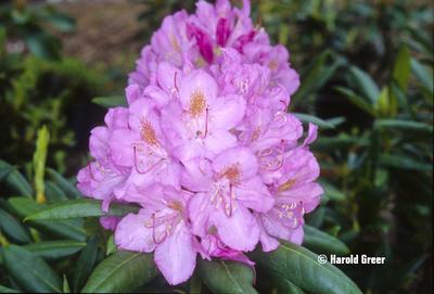 Rhododendron 'Roseum Elegans'