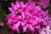 Azalea 'Rosy Lights'