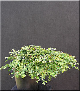Sequoia sempervirens 'Kelly's Prostrate'