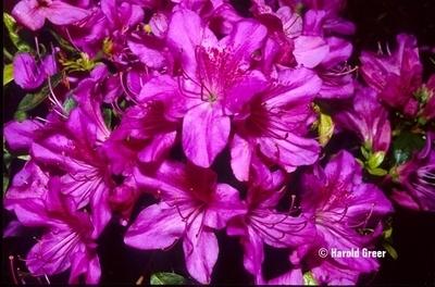 Azalea 'Sherwood Orchid'