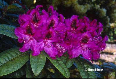 Rhododendron 'Smokey #9'