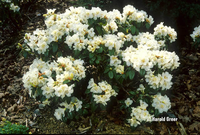 Image Rhododendron 'Snowlady'