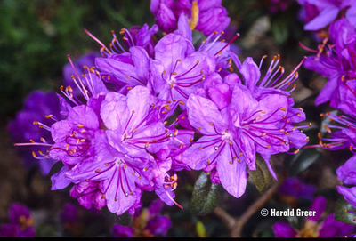 Image Rhododendron 'Songbird'