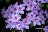 Rhododendron 'Star Trek'