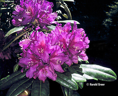 Image Rhododendron 'Tall Timber'