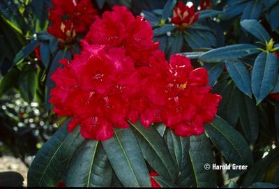 Image Rhododendron 'Taurus'