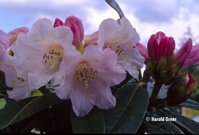Rhododendron 'Teddy Bear'