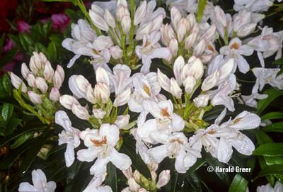 Rhododendron 'Tondelaya'