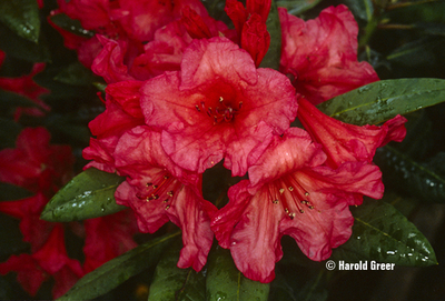 Rhododendron 'Tortoiseshell Wonder'