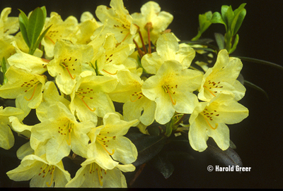 Rhododendron 'Tow Head'